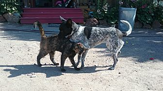 Australian Cattle Dog/Chihuahua Mix Dog for adoption in Pie Town, New Mexico - Baby