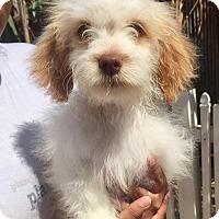 Adopt A Pet :: Sterling - Santa Ana, CA
