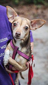 Chihuahua Mix Dog for adoption in Savannah, Georgia - Cee Cee