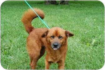 Irish Setter Mix Dog for adoption in Hamilton, Ohio - Calvin