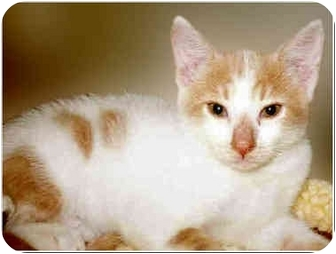 Domestic Mediumhair Kitten for adoption in San Clemente, California - ATHENS