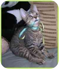 Domestic Shorthair Kitten for adoption in Tampa, Florida - Hildito