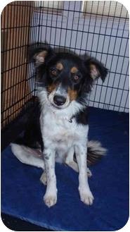Border Collie Mix Dog for adoption in San Angelo, Texas - Jinx