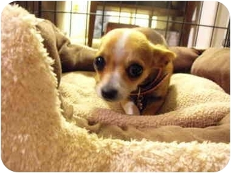 Chihuahua Puppy for adoption in Wilminton, Delaware - Jezzabelle
