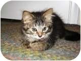 Domestic Shorthair Kitten for adoption in Warren, Michigan - Rascal