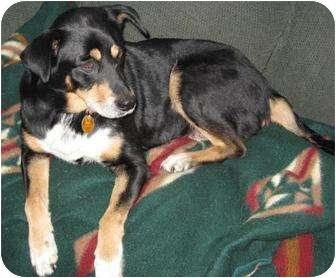 Australian Shepherd/Retriever (Unknown Type) Mix Dog for adoption in Newport, Vermont - Gracie Paws