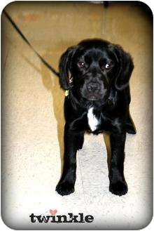 Labrador Retriever Mix Puppy for adoption in mishawaka, Indiana - Twinkle - PAWMART