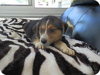 Siberian Husky Mix Puppy for adoption in Zanesville, Ohio - Mac