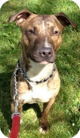 Pit Bull Terrier Mix Dog for adoption in Rochester/Buffalo, New York - Bruce - Courtesy Post