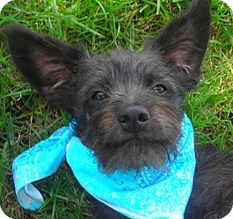 Terrier (Unknown Type, Small) Mix Puppy for adoption in El Cajon, California - Bruce