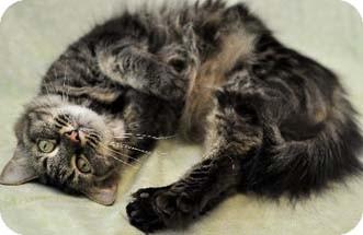 Domestic Longhair Cat for adoption in Merrifield, Virginia - Hans
