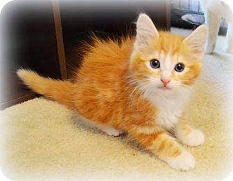Domestic Longhair Kitten for adoption in Arlington/Ft Worth, Texas - Ralph