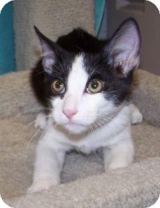 Domestic Shorthair Kitten for adoption in Colorado Springs, Colorado - K-Wilma3-Emilio