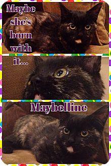 Domestic Shorthair Kitten for adoption in Cincinnati, Ohio - Maybelline