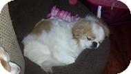 Japanese Chin/Pekingese Mix Dog for adoption in Wilmington, Massachusetts - Earnest