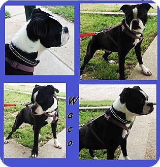 Boston Terrier/Boxer Mix Dog for adoption in Weatherford, Texas - Waco Kid