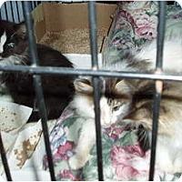 Adopt A Pet :: Kittens - Westfield, MA