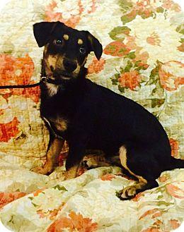 Dachshund/Miniature Pinscher Mix Puppy for adoption in Wilmington, North Carolina - Spunky