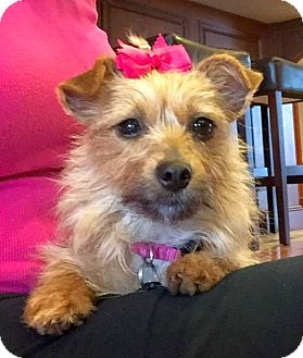 Yorkie, Yorkshire Terrier/Chihuahua Mix Dog for adoption in Huntsville, Alabama - Lizzie