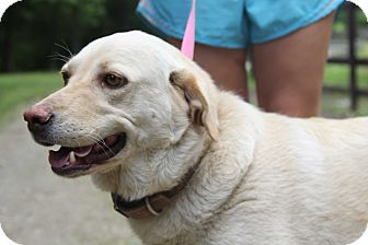 Labrador Retriever Mix Dog for adoption in Minnetonka, Minnesota - LILLY - LOVES children