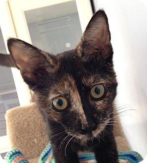 Domestic Shorthair Cat for adoption in Columbia, South Carolina - Phantom