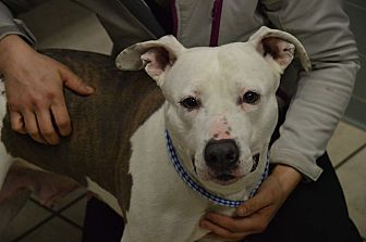 American Staffordshire Terrier Dog for adoption in Channahon, Illinois - Kensie