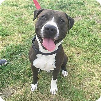 American Staffordshire Terrier Mix Dog for adoption in Williamsburg, Virginia - TONY