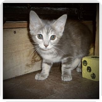 Domestic Shorthair Kitten for adoption in Medford, Wisconsin - LETTY
