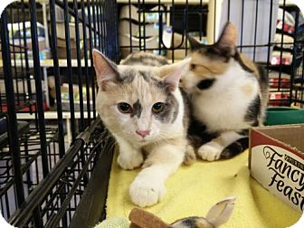 Domestic Shorthair Kitten for adoption in Avon, Ohio - Harmony