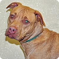 Adopt A Pet :: Harmony - Port Washington, NY