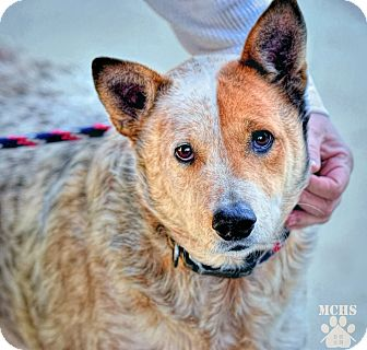 Australian Cattle Dog Dog for adoption in Martinsville, Indiana - Merle