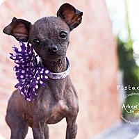 Adopt A Pet :: Pistachio - Shawnee Mission, KS
