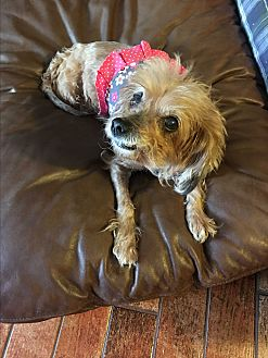 Spaniel (Unknown Type) Mix Dog for adoption in Lehigh, Florida - Scarlett