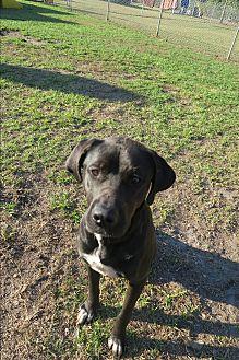 Labrador Retriever Mix Dog for adoption in Orlando, Florida - Minnie