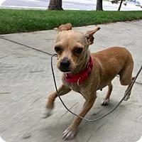 Adopt A Pet :: Little Bell - San Pedro, CA