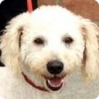 Bichon Frise/Poodle (Miniature) Mix Dog for adoption in Los Angeles, California - DUDLEY (video)