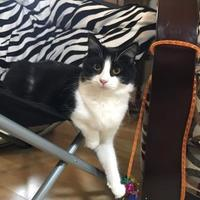 Maine Coon/Domestic Shorthair Mix Cat for adoption in Santa Cruz, California - Beyonce