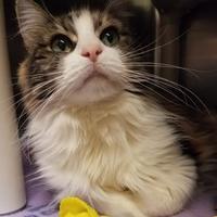 Adopt A Pet :: Ti Ti - Corvallis, OR