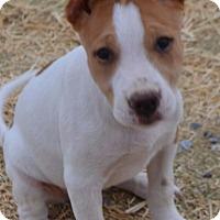 Adopt A Pet :: Bandit - Pahrump, NV