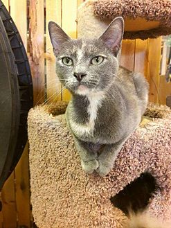 Domestic Shorthair Cat for adoption in Leonardtown, Maryland - Mallory