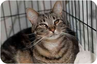 Domestic Shorthair Cat for adoption in Westbrook, Maine - Fiona