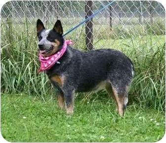 Australian Cattle Dog Dog for adoption in Muldrow, Oklahoma - Starla