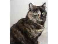 Domestic Mediumhair Cat for adoption in Tampa, Florida - Lilly