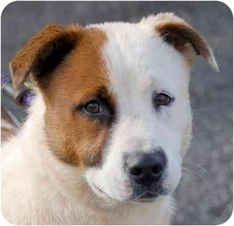Hound (Unknown Type)/Jack Russell Terrier Mix Dog for adoption in Inman, South Carolina - Zeal
