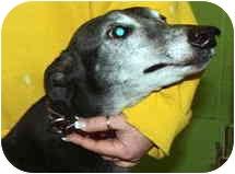 """Greyhound Dog for adoption in Louisville, Kentucky - Carl (""""Kiowa Decarla"""")"""