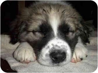 Shepherd (Unknown Type) Mix Puppy for adoption in Detroit, Michigan - Moxie