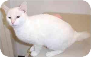 Siamese Kitten for adoption in Houston, Texas - Ronald