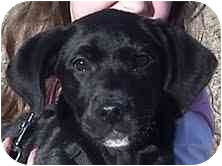Labrador Retriever Mix Puppy for adoption in Foster, Rhode Island - Kissy