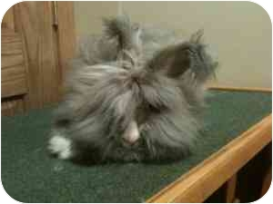 Angora, English Mix for adoption in Maple Shade, New Jersey - Callie