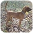 Photo 3 - Redbone Coonhound Dog for adoption in Earleville, Maryland - Jamie